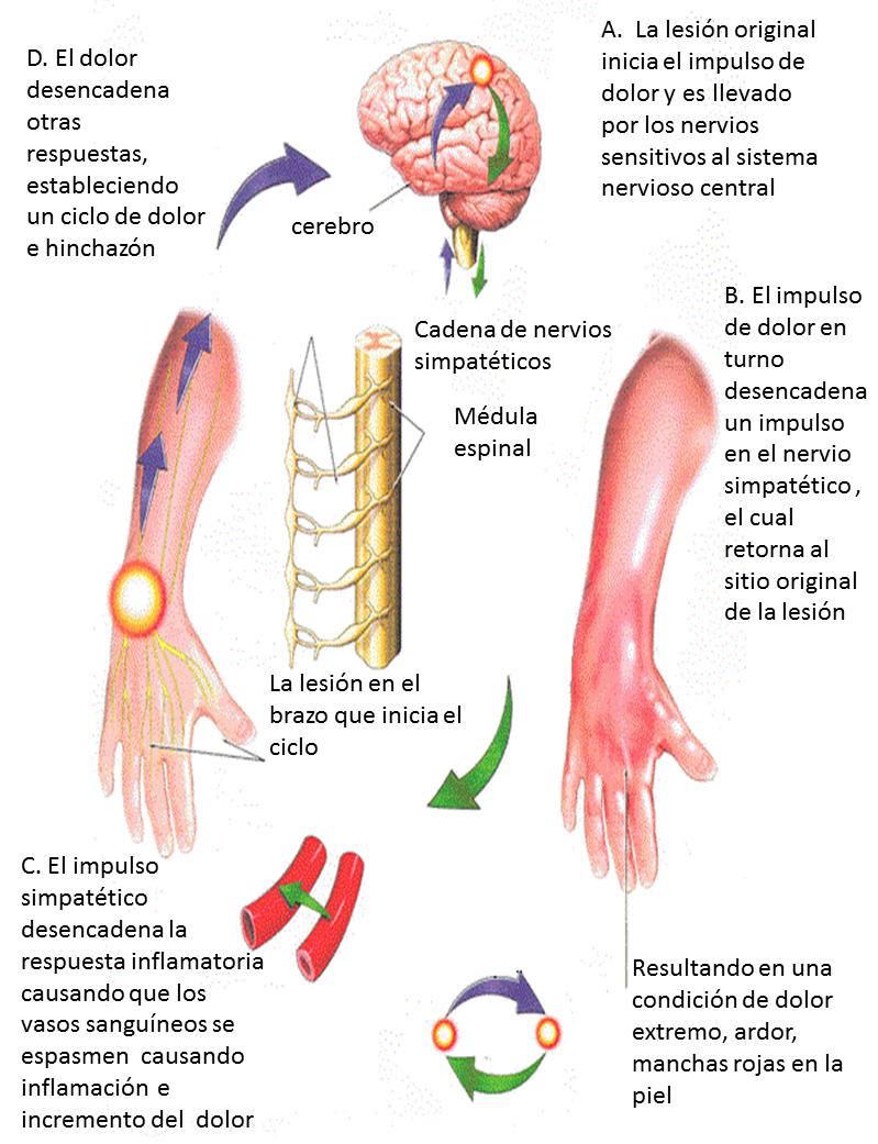 Excelente Diagrama De La Anatomía De Hámster Colección - Imágenes de ...