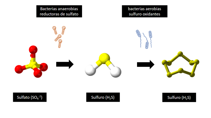 Reduccion Bacteriana de Sulfatos